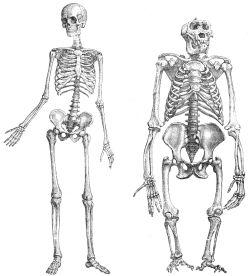 Primatenskelett-drawing