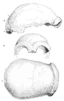 Neanderthal Cranium, outlined by Busk