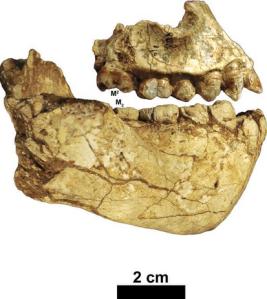 (image Haile-Selassie et al, 2015)