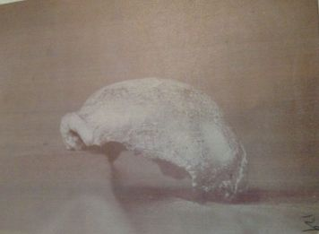 Feldhofer cranium, courtesy of the Huxley Papers at ICL