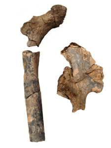 1.9 million-year-old pelvis & femur fossils, credit: MU News Bureau