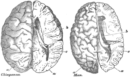 chimpanzee_and_human_brain_scaled_to_the_same_size_thomas_henry_huxley